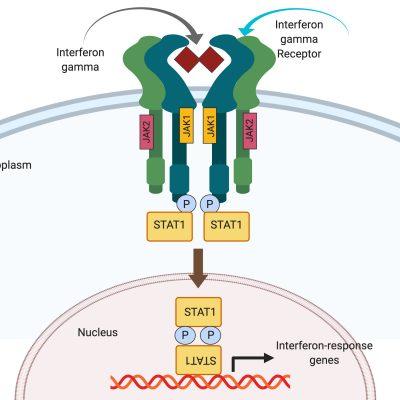 Schematic of STAT1 mechanism