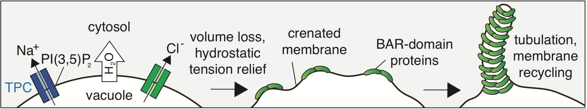 smallest components of ingested medium (ion) are expelled from vacuoles