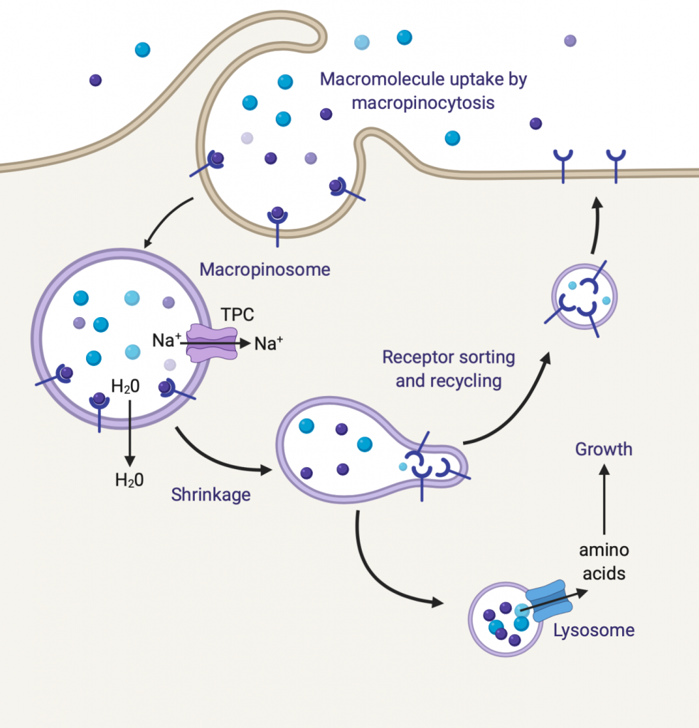 image depicting surveillance and traffic of fluid in cells