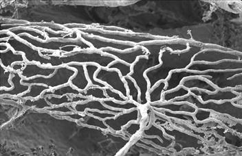 Arteriol vein feeding the stria vascularis