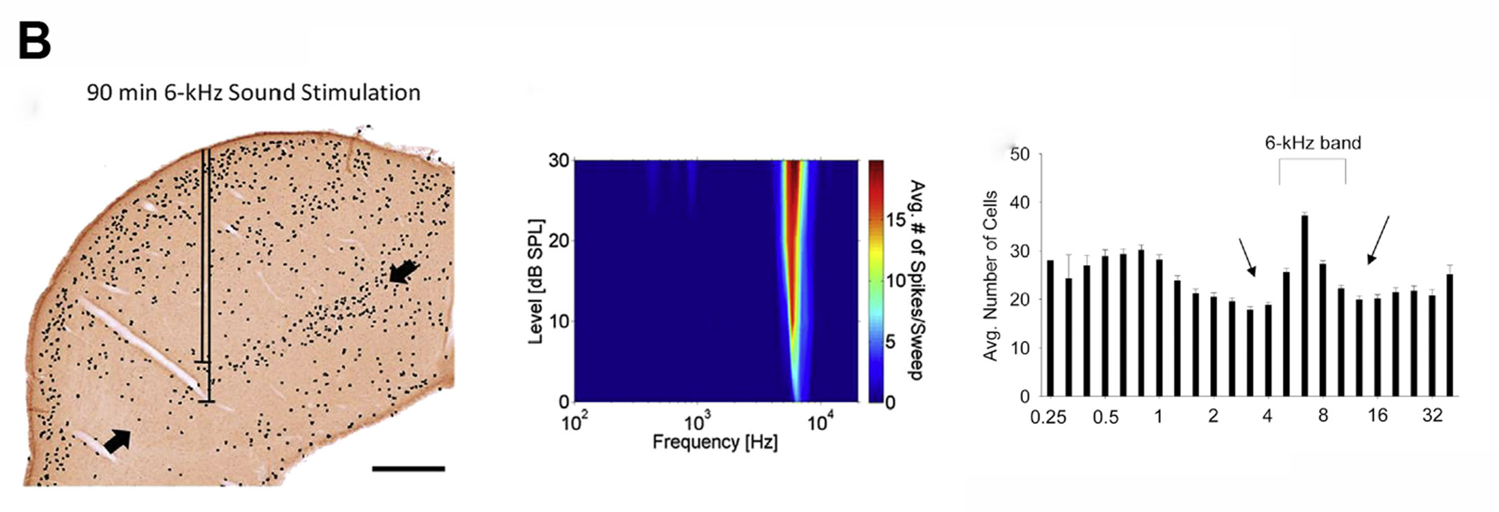 Image of c-fos immuno-labelling, tuning curve and graphed number of active cells at 6kHz band stimulation