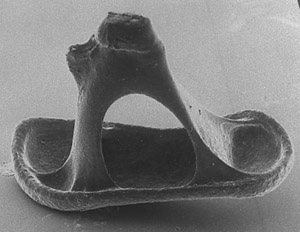 Image of the stapes taken from the middle ear of a chinchilla