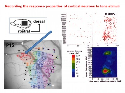 Response-properties-of-cortical-neurons to tone stimuli