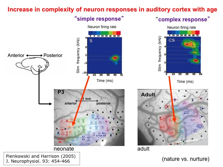 Increase in complexity with neuronal response in auditory cortex with age