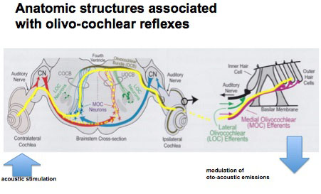 Image showing afferent and efferent connections from the cochlea to the brainstem.