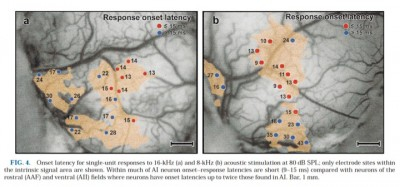 Latency onset of neuronal responses