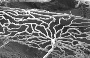 Image showing feeding vessels in the stria vascularis of a mouse cochlea.