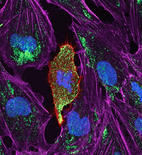 Potassium channels in dividing cells