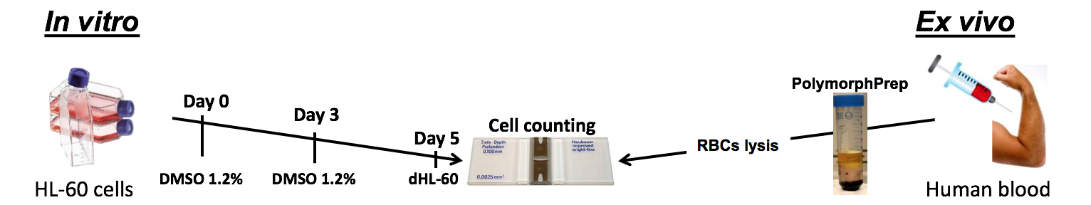 Palaniyar - In vitro/ex vivo + HL60 cells + polymorph + cell counting