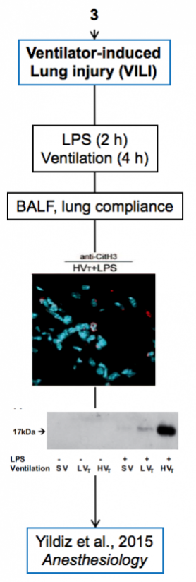 Palaniyar + Yildiz - Ventilator Induced Lung Injury + Mouse model + BALF + LPS