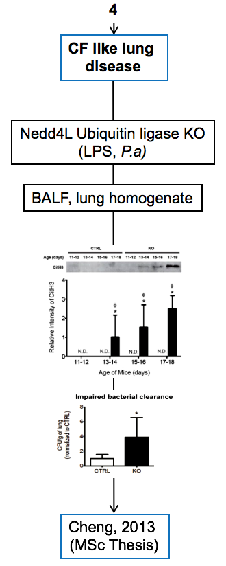 Palaniyar + Cheng - Mouse model + CF like lung disease + Nedd4L ubiquitin ligase KO