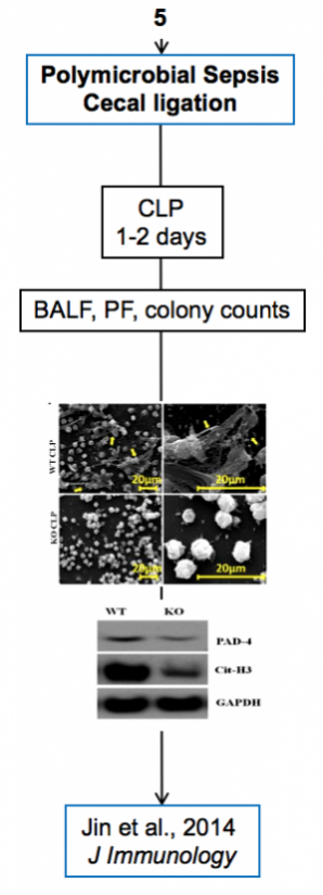 Palaniyar + Jin - Polymicrobial sepsis cecal ligation + Mouse model + CLP + PF