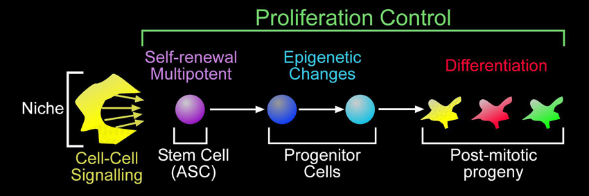 Proliferation control in adult stem cell lineages pathway