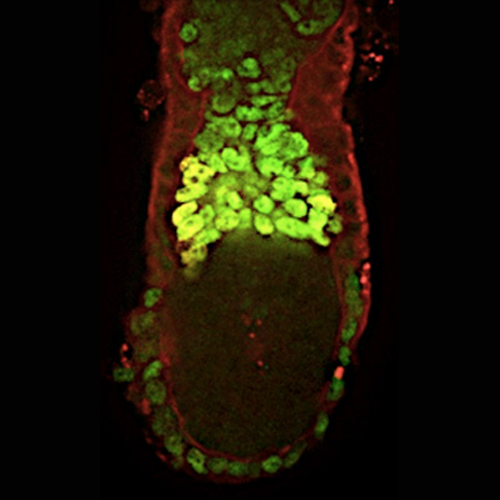 E6.0 embryo stained for Eomes (green) and Esrrb (red).