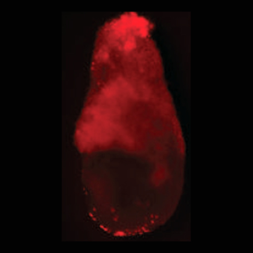 Contribution of Sox17 derived XEN cells (red) to E6.5 day embryos.