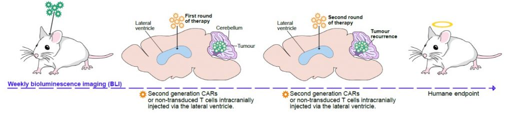 Car T-cell therapy regimen for Ependymoma xenografts