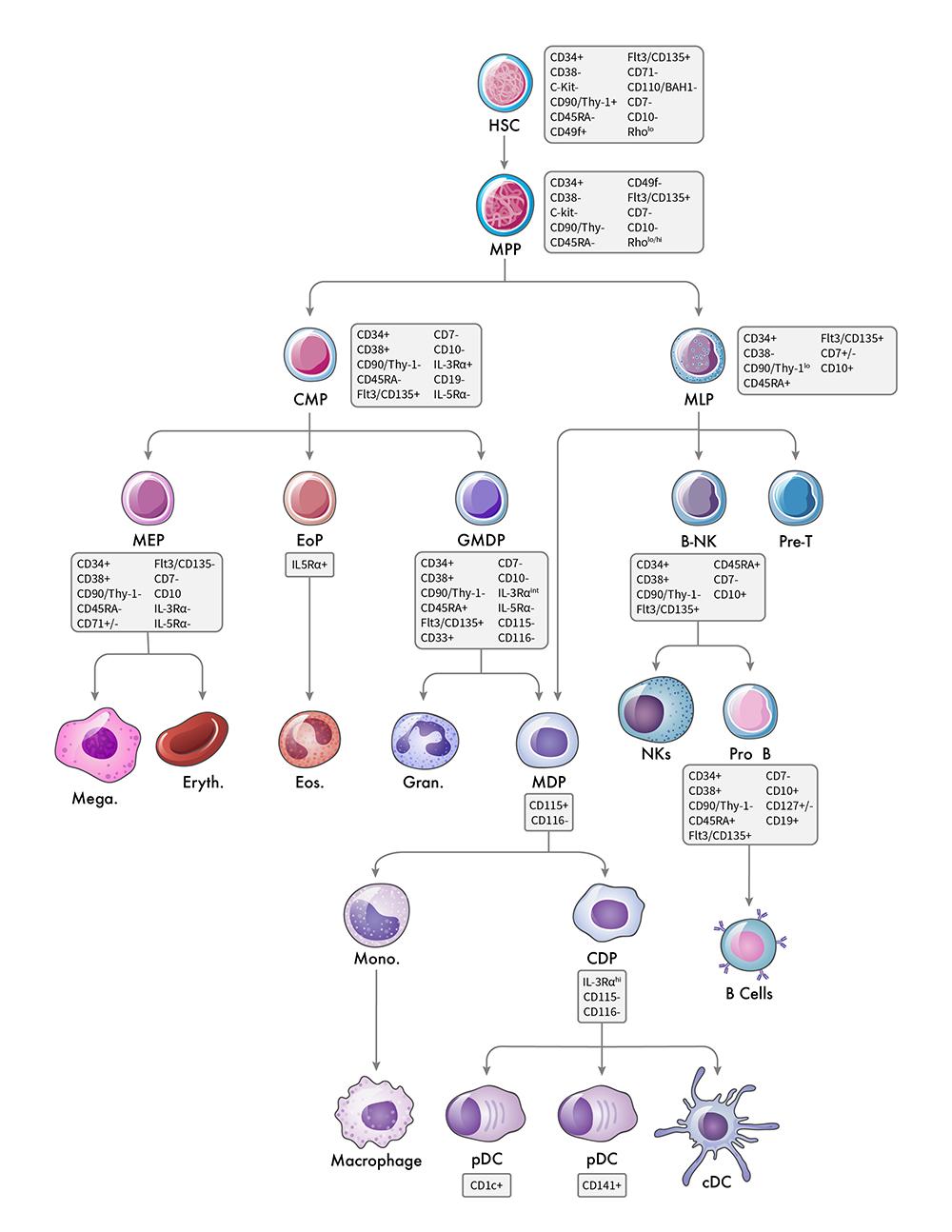 Hematopoeitic Hierarchy