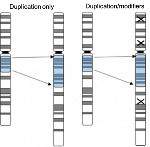 2 diagrams: one showing a section of a chromosome being duplicated, the second showing the same duplication with x's on other parts of the chromosome to indicate genetic modifiers